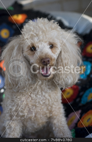 Beige Poodle stock photo, A beige miniature poodle sitting on a colorful afghan - he seems to be smiling by Maria Bell