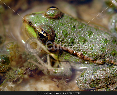 Frog stock photo, Close up on frog in a swamp by Kobby Dagan