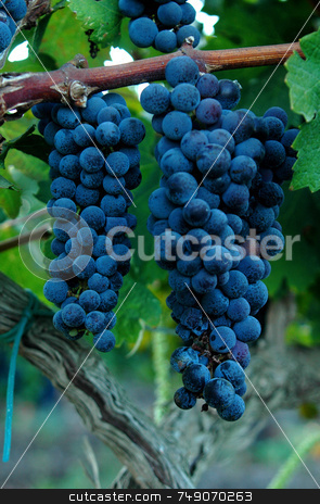 Grapes stock photo, Brunch of grapes in villge in north Israel by Kobby Dagan