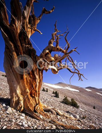 Bristlecone Pine Tree 2 stock photo, A Bristlecone Pine tree located in the Patriarch Grove of the Inyo National Forest, California. by Mike Norton