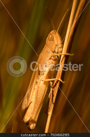 Grasshopper stock photo, Close up on grasshopper in the field by Kobby Dagan