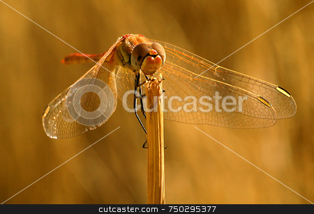 Dragonfly stock photo, Close up on dragonfly in the field by Kobby Dagan