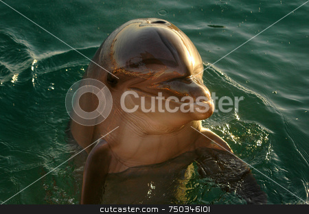 Dolphin stock photo, Dolphin in the red sea eilat israel by Kobby Dagan