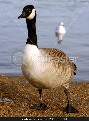 Goose stock photo, Close up on goose in London park by Kobby Dagan