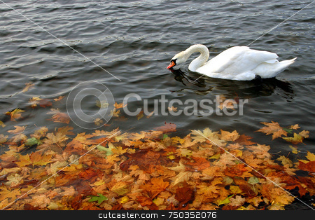 Swan stock photo, Swan in a lake at Autumn by Kobby Dagan