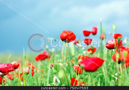 Poppies background in field. stock photo, Wild flowers in the field of Portugal. by Inacio Pires