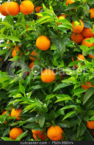 Green leaves and mature oranges . stock photo, Green leaves and mature oranges on the tree. by Inacio Pires