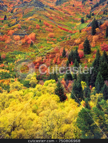 Autumn Tapestry  stock photo, Fall colors on a hillside in the Wasatch-Cache National Forest, Utah. by Mike Norton