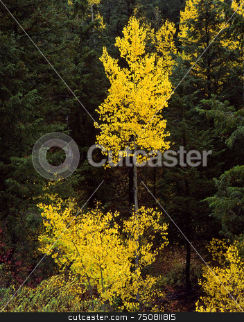Uinta Forest Aspens 1 stock photo, Aspen trees in the Uinta National Forest, Utah. by Mike Norton