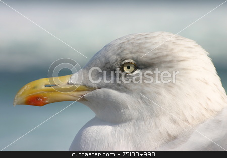 Seagull close up stock photo, Seagull close up by Stephen Rees