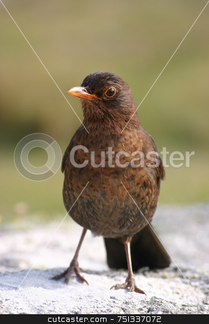A cute blackbird stock photo, A cute blackbird by Stephen Rees