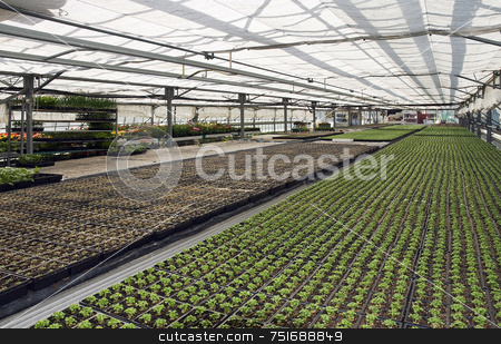 Small plants stock photo, Lines of small plants in a greenhouse by Massimiliano Leban