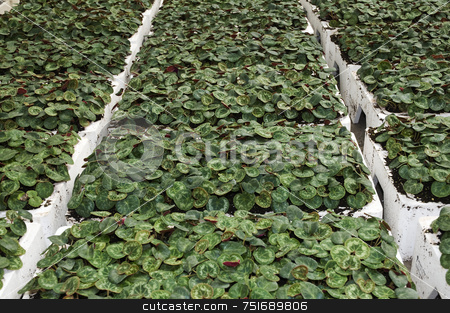 Cyclamens stock photo, Crate full of cyclamen in a greenhouse by Massimiliano Leban