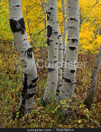 Uinta Forest Aspens 6 stock photo, Aspen treesa in the Uinta National Forest, Utah. by Mike Norton