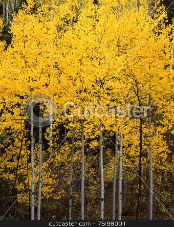 Uinta Forest Aspens 2 stock photo, Aspen trees in the Uinta National Forest, Utah. by Mike Norton