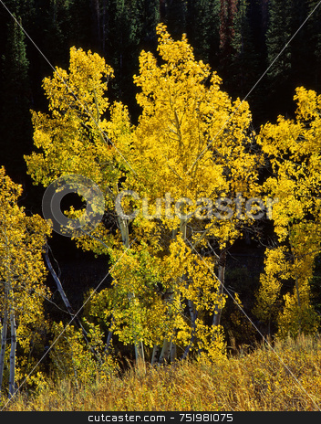 Uinta Forest Aspens 5 stock photo, Aspen trees in the Uinta National Forest, Utah. by Mike Norton