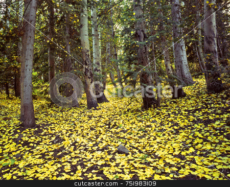 Uinta Forest Aspen Leaves stock photo, Yellow aspen leaves on the ground in the Uinta National Forest, Utah. by Mike Norton