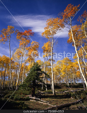 Ashley Forest Aspens 1 stock photo, Aspen trees in the Ashley National Forest, Utah. by Mike Norton
