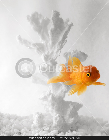 Goldfish on white background stock photo, Goldfish in white fishbowl by A Cotton Photo