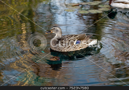 Malard Duck stock photo, A beautiful duck swimming in the water by Richard Nelson