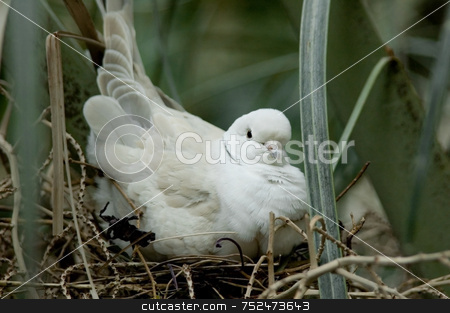 Nesting Turtle Dove stock photo, Turtle dove in white and beige nesting within green foliage. by ngirl