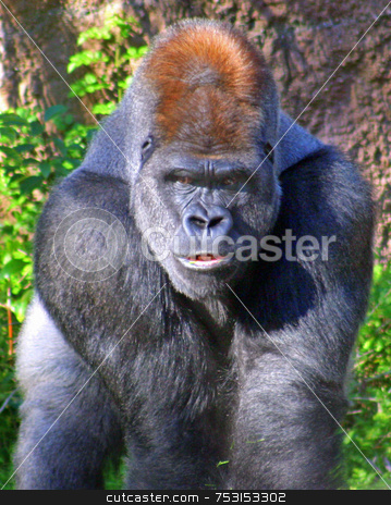 Gorilla stock photo, This gorilla was looking straight at me! by Lucy Clark