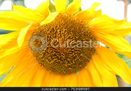 Yellow sunflower stock photo, Close up view of the yellow sunflower by Joanna Szycik