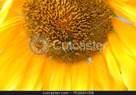 Sunflower stock photo, Close up view of the yellow sunflower by Joanna Szycik
