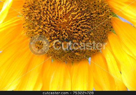 Sunflower stock photo, Close up view of the yellow sunflower by Joanna Szycik