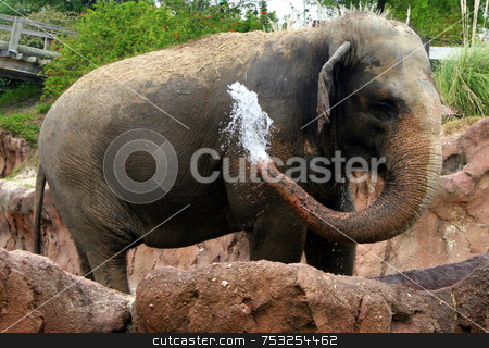 Elephant stock photo, An elephant squirting water out of its trunk. by Lucy Clark