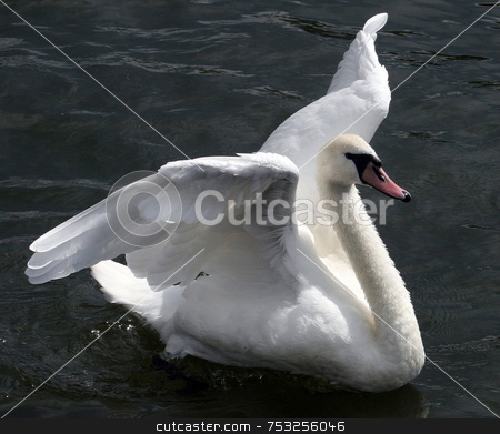 Flapping Swan stock photo, A swan flappings its wings in a river. by Lucy Clark