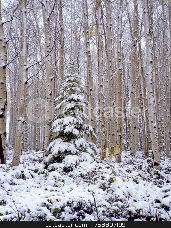 Snow covering Ashley National Forest stock photo, An autumn snowfall in the Ashley National Forest, Utah. by Mike Norton