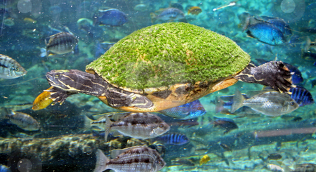 Turtle stock photo, Turtle swimming through the water by Lucy Clark