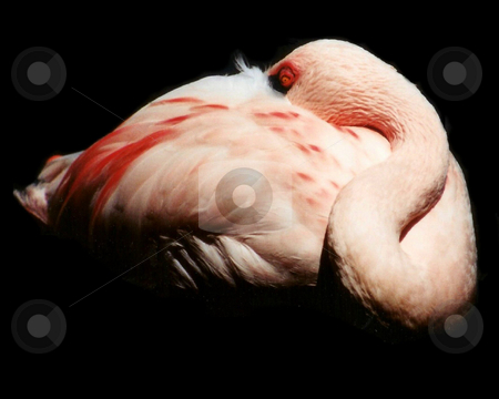 The Disappearing Flamingo stock photo, A flamingo sleeping that looks like it is disappearing. by Lucy Clark