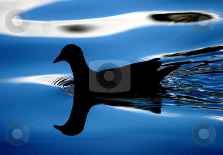 Bird Silhouette stock photo, The silhouette of a bird on a lake. by Lucy Clark
