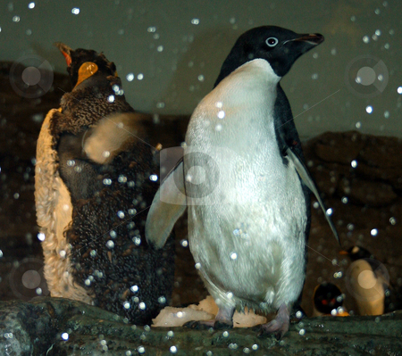 Penguins stock photo, A couple of penguins posing for the camera. by Lucy Clark