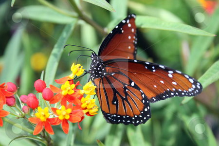 Butterfly stock photo, A butterfly wings spread sitting on a flower. by Lucy Clark
