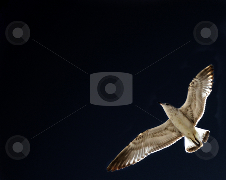 Seagull in the Darkness stock photo, A seagull flying in the dark sky by Lucy Clark