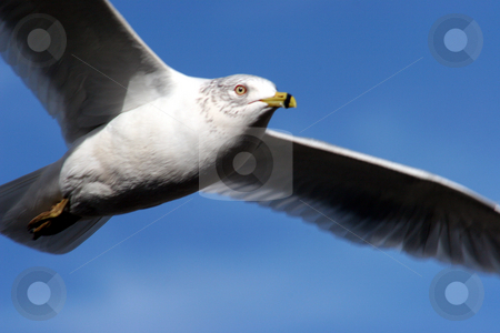 The Flying Seagull stock photo, A seagull flying overhead with blue sky. by Lucy Clark
