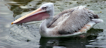 Pelican stock photo, A pelican in a lake looking for food. by Lucy Clark
