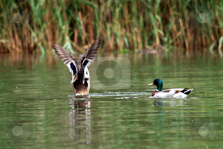 Flying Ducks stock photo, 2 ducks in a lake one about to take off! by Lucy Clark