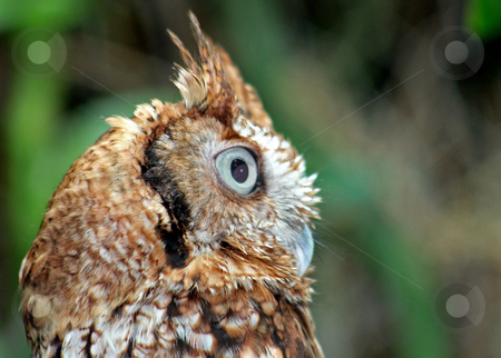 Owl looking stock photo, An owl looking into the distance with big eyes by Lucy Clark
