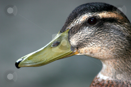 Duck Face stock photo, A close up of the face of a duck. by Lucy Clark