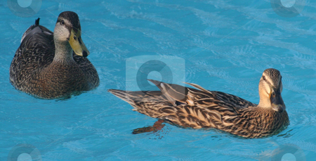 2 Ducks stock photo, Two ducks swimming in the water together by Lucy Clark