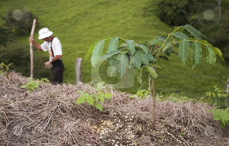 Bean Plant and farmer stock photo, Bean farmer planting on a hillside in Costa Rica. by Scott Griessel