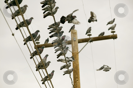 Pigeons on a Wire stock photo, Flock of pigeons perched on a power line. by Scott Griessel