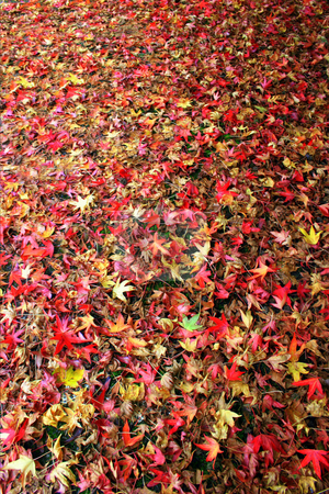 Fall Leaves stock photo, A lot of falls leaves on the ground. by Lucy Clark