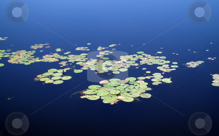 Lily Pads stock photo, Some green lily pads on a lake. by Lucy Clark