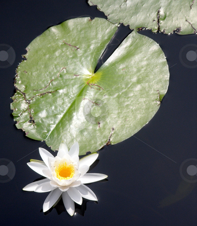 Lily Pad stock photo, A lily pad and lily by Lucy Clark
