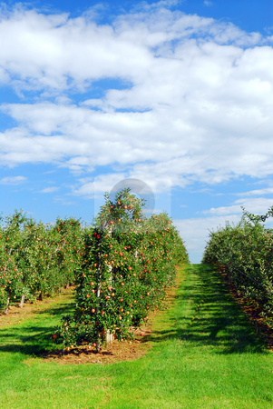 Apple orchard stock photo, Apple orchard with red ripe apples under bright blue sky by Elena Elisseeva